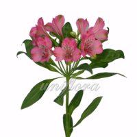 Розовая альстромерия