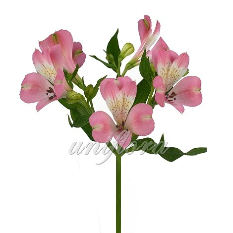 Светло-розовая альстромерия