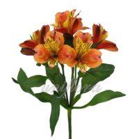 Тыквенно-оранжевая альстромерия