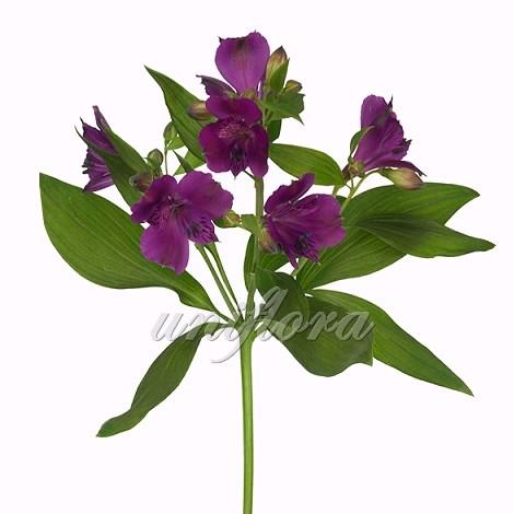 Фиолетовая альстромерия