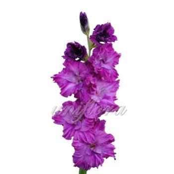Фиолетовый гладиолус
