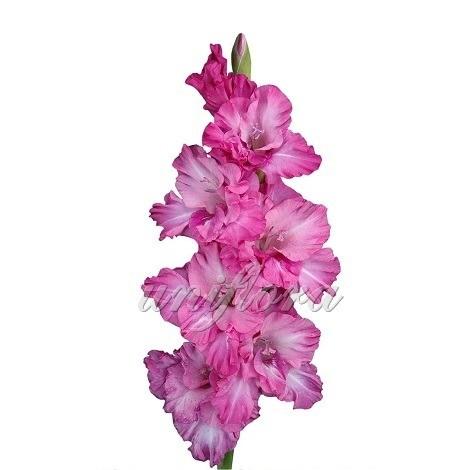 Ярко-розовый гладиолус