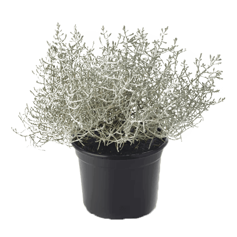Калоцефалус (Calocephalus brownii Silversand)
