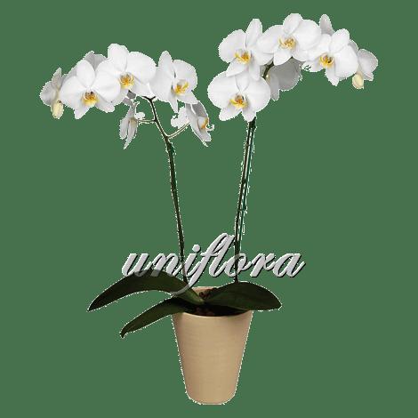 Орхидея фаленопсис белая