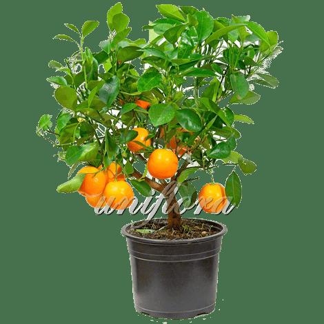 Цитрофортунелла (мандарин)