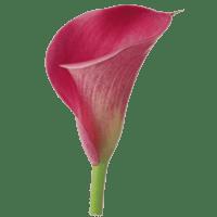 Розовые каллы