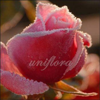 Сахарная роза