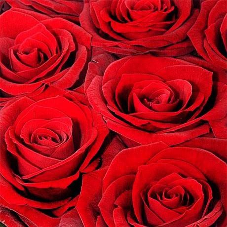 """Роза сорта """"Гран При"""" (Колличество на выбор)"""