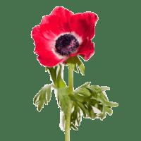 Анемона красная
