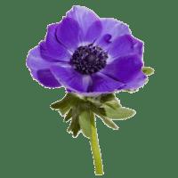 Анемона синяя