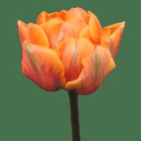 розовый пионовидный