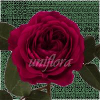 """Пионовидная роза """"Sangria"""""""