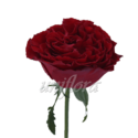 """Пионовидная роза """"Бордовая"""""""