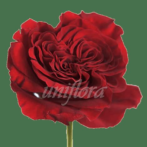 """Пионовидная роза """"Красная"""""""