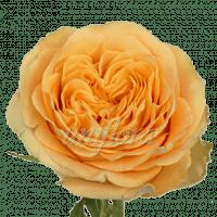 """Пионовидная роза """"Оранжевая"""""""