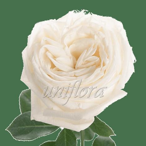 """Пионовидная роза """"Белая"""""""