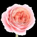 """Пионовидная роза """"Розовая"""""""