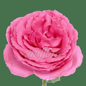 """Пионовидная роза """"Сиреневая"""""""