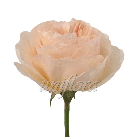 """Пионовидная роза """"Светло-розовая"""""""