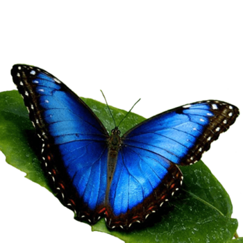 Голубая - морфо