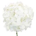 Гортензия белая